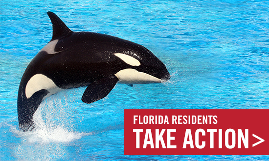 Take action today to help make the Florida Orca Protection Act law.