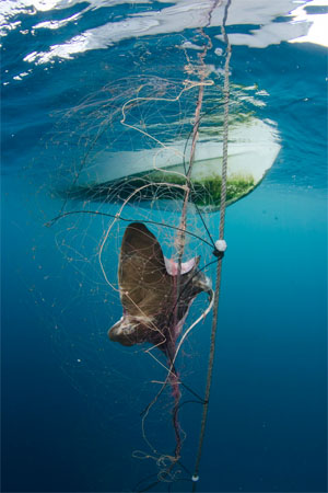 Bat Ray dead in net under boat