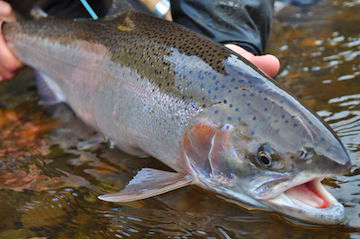 Steelhead will benefit from the passage of suction dredge legislation (photo courtesy of Caddis Fly).